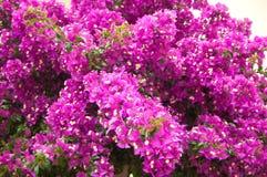 Bougainvillea cor-de-rosa Imagens de Stock Royalty Free