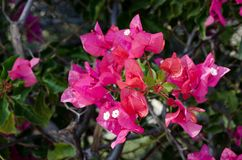 Bougainvillea is a curly shrub that is usually used to decorate flowerbeds. Near hotels, shops, park areas. His flowers are small, barely noticeable, but framed Stock Photo