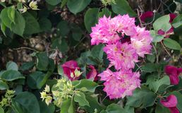 Bougainvillea is a curly shrub that is usually used to decorate flowerbeds. Near hotels, shops, park areas. His flowers are small, barely noticeable, but framed Stock Image