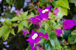 Bougainvillea. Is a curly shrub that is usually used to decorate flowerbeds near hotels, shops, park areas. His flowers are small, barely noticeable, but framed Stock Image