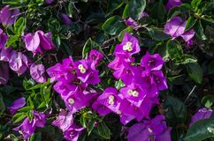 Bougainvillea is a curly shrub that is usually used to decorate flowerbeds. Near hotels, shops, park areas. His flowers are small, barely noticeable, but framed Royalty Free Stock Photos