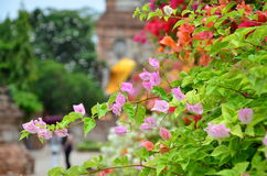 The bougainvillea so cute on the Temple Royalty Free Stock Image