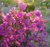 Bougainvillea de florescência fotos de stock