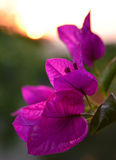 Bougainvillea de florescência foto de stock royalty free