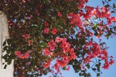 Bougainvillea in de zon Stock Fotografie