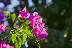 Bougainvillea di fioritura Fiori magenta della buganvillea La buganvillea fiorisce il fondo floreale Fotografia Stock