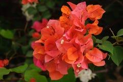 Bougainvillea die op struik in Tuin bloeien Stock Afbeeldingen