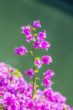 Bougainvillea, Document bloem Stock Foto