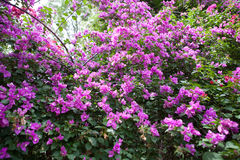 Bougainvillea of document bloem Royalty-vrije Stock Foto's