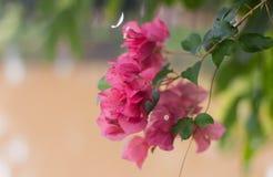 Bougainvillea of Document Bloem het roze bloemen bloeien Stock Afbeeldingen
