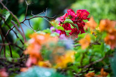 Bougainvillea and droplet Stock Image