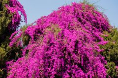 Bougainvillea drzewo w Harare, Zimbabwe -, Południowa Afryka zdjęcia stock