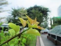 Bougainvillea drzewo w ogródzie Zdjęcia Royalty Free