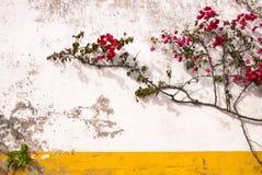 Bougainvillea en muur Royalty-vrije Stock Foto's