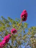 Bougainvillea för Crimson Red royaltyfri bild