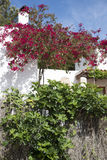 Bougainvillea and fig Stock Photography