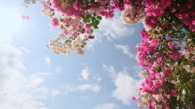 Bougainvillea floewrs bush against the sky in the garden. The fifth version. Shot in Full HD - 1920x1080, 30fps stock footage