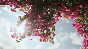 Bougainvillea floewrs bush against the sky in the garden. The fourth version. Shot in Full HD - 1920x1080, 30fps stock video footage