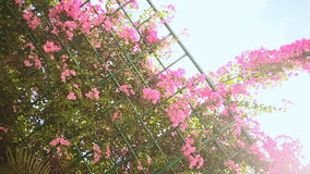 Bougainvillea floewrs bush against the sky in the garden. Hanging from lattice. First version. Shot in Full HD - 1920x1080, 30fps stock video