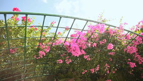 Bougainvillea floewrs bush against the sky in the garden. Hanging from lattice. The fourth version. Shot in Full HD - 1920x1080, 30fps stock video footage