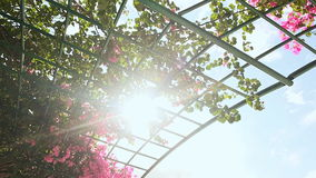 Bougainvillea floewrs bush against the sky in the garden. Hanging from lattice. The second version. stock video