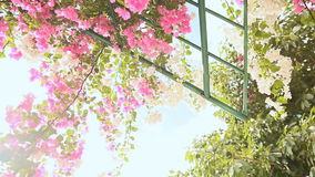 Bougainvillea floewrs bush against the sky in the garden. Hanging from lattice. The third version. Shot in Full HD - 1920x1080, 30fps stock video footage