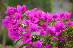 Bougainvillea floreciente Foto de archivo libre de regalías