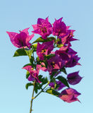 Bougainvillea flower against the sky Stock Photography