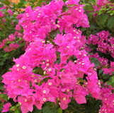 Bougainvillea flower. Beautiful pink flowers of bougainvillea and beautiful little white flowers giving natural beauty to the scene Stock Images