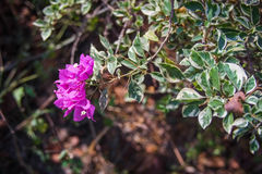 Bougainvillea flower. Is beautiful flower in the world Royalty Free Stock Images