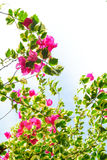 Bougainvillea flower blooming with white sky Stock Photo