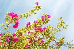 Bougainvillea flower blooming with white sky Royalty Free Stock Photos