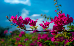 Bougainvillea flower Royalty Free Stock Photo