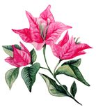 Bougainvillea flower bouqet isolated artistic watercolor Stock Photo
