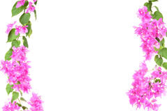 Bougainvillea flower branches half frame isolated on white backg Stock Photo