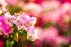 Bougainvillea flower   in chiangmai Thailand Stock Photo