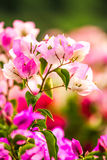 Bougainvillea flower   in chiangmai Thailand Stock Images