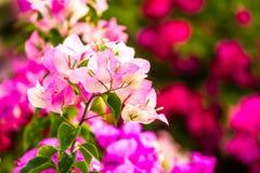 Bougainvillea flower   in chiangmai Thailand Stock Image