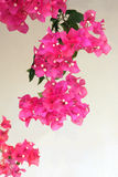 Bougainvillea flower Stock Image