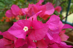 Bougainvillea flower, close up Stock Images