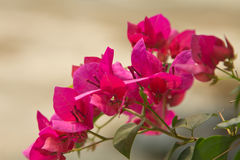 Bougainvillea flower. Close up of pink bougainvillea flower Stock Photography