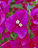 Bougainvillea flower closeup Royalty Free Stock Image