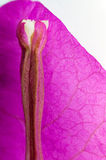 Bougainvillea flower closeup detail Stock Photography