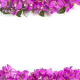 Bougainvillea flower.Color Pink. Pink Bougainvillea flower frame isolated on white background Royalty Free Stock Photography