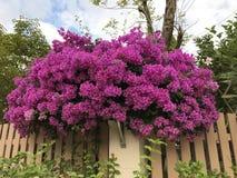 Bougainvillea flower. Stock Image