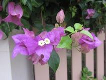 Bougainvillea flower. Stock Images
