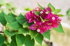 Bougainvillea flower. In the garden Royalty Free Stock Photo