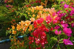 Bougainvillea flower in garden Royalty Free Stock Images