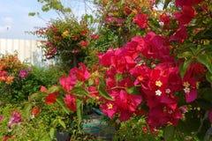 Bougainvillea flower in garden Stock Photography