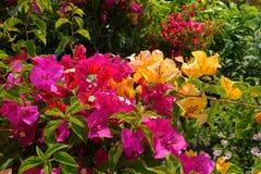 Bougainvillea flower in garden Stock Photos